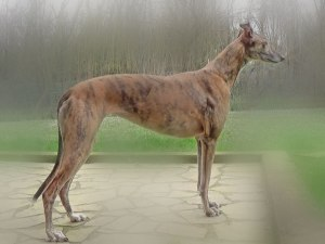 greyhound_ziwa